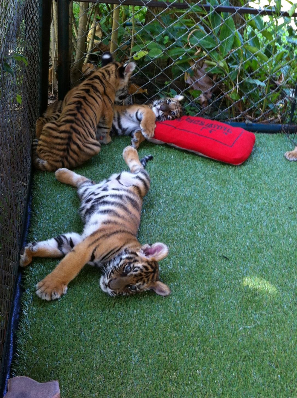 Os preguiçosos bebês tigres.