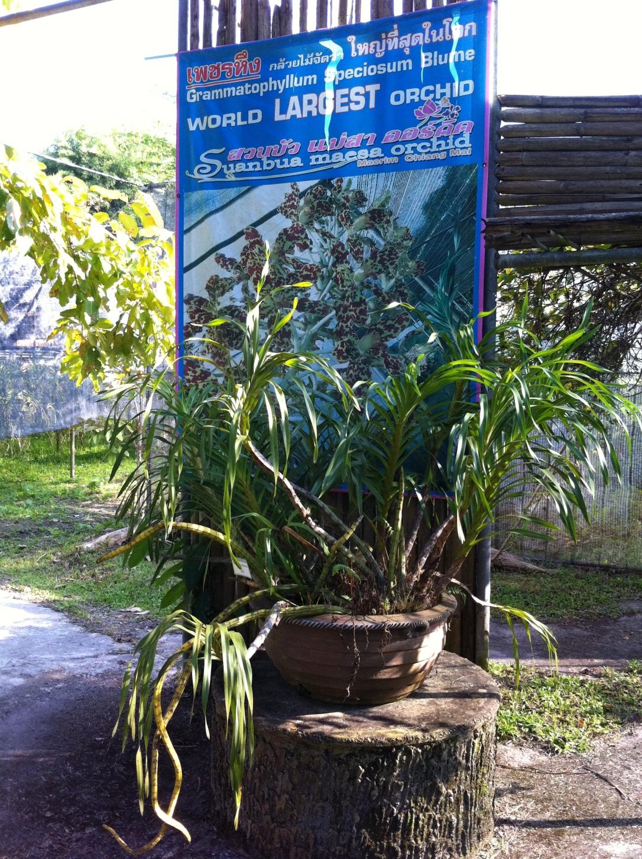 Grammatophyllum speciosum, nativa da Malásia é considerada a maior orquídea do mundo.